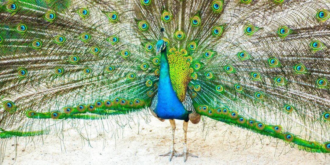 Game of Thrones Tour Croatia - peacock